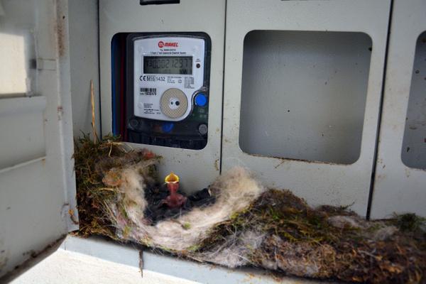 Ordulu kadının örnek duyarlılığı! Kuş elektrik saatine yuva yapınca elektriği kesti! - Sayfa 1