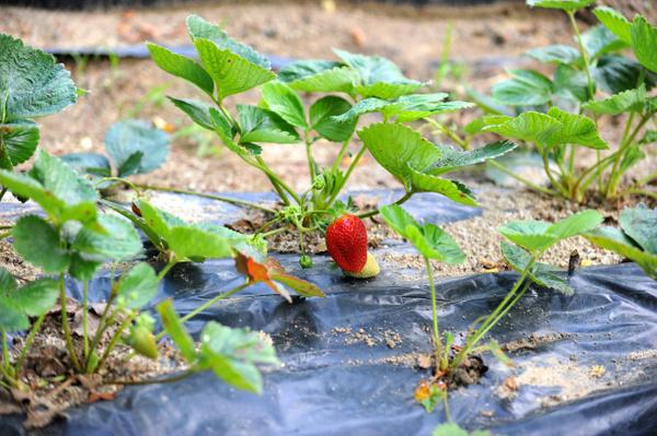 8 ay boyunca meyve veriyor Bursa'daki çiftçilerin çoğu üretmeye başladı - Sayfa 3
