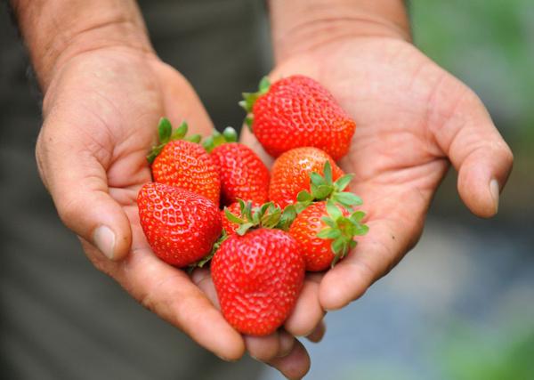 8 ay boyunca meyve veriyor Bursa'daki çiftçilerin çoğu üretmeye başladı - Sayfa 5