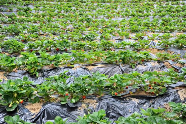 8 ay boyunca meyve veriyor Bursa'daki çiftçilerin çoğu üretmeye başladı - Sayfa 1