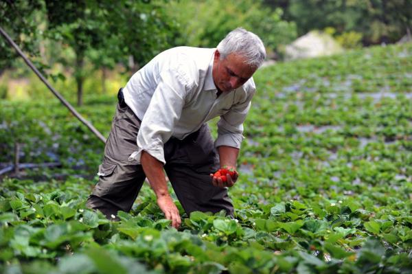 8 ay boyunca meyve veriyor Bursa'daki çiftçilerin çoğu üretmeye başladı - Sayfa 4