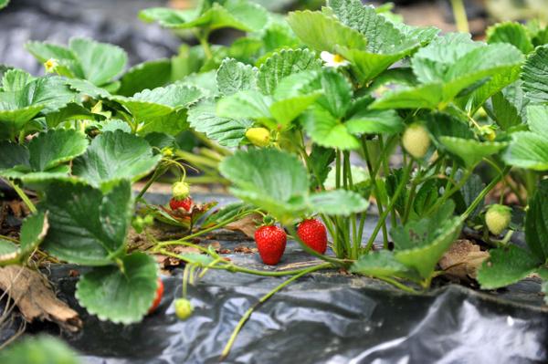 8 ay boyunca meyve veriyor Bursa'daki çiftçilerin çoğu üretmeye başladı - Sayfa 6