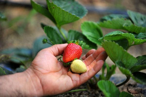 8 ay boyunca meyve veriyor Bursa'daki çiftçilerin çoğu üretmeye başladı - Sayfa 2