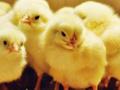 Hayvanseverleri çıldırtan karar! Erkek civcivler ezilerek öldürülecek