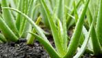 Doğal şifa kaynağı aloe vera nedir cilde faydaları saymakla bitmiyor