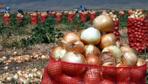 Soğanın kilosu 10 lirayı aştı üretici ise umut vermedi