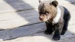 Polisi şaşkına çeviren ihbar: Otelde yavru ayılar var