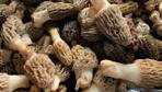 Altın değerinde! Kilosu bin liraya kadar satılıyor Kuzugöbeği mantarının faydaları