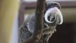 Sakallı maymunların ikinci yavru heyecanı