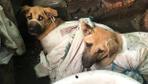 Vahşet!! Çuvallara koydukları köpekleri, döve döve öldürüp yiyorlar