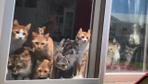 """Japonya'da kedilerin """"çiftiçi"""" merakı"""