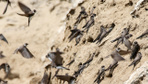 Kum kırlangıçları Van Gölü havzasında