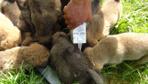 Anneleri ölen 14 yavru köpeğe bakıyor