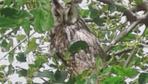 Diyarbakır'da boynuzlu baykuş görüldü köylüler şaşkına döndü