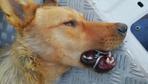 Zonguldak'ta ağzına çelik halka sıkışan köpeği AFAD ekibi kurtardı