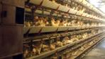 Tavuklara her sabah düzenli dinletiyor günde 150 koli yumurta alıyor!