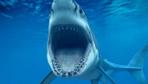 Antalya'da yakalanan 2 metre boyundaki köpek balığı görenleri hayrete düşürdü