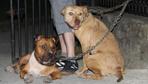 Çocuk parkına pitbull köpeklerini bağlayıp kaçtılar