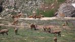 Munzur Dağı'nın zirvesinde Bezuvar dağ keçileri