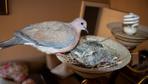 Kuş oturma odasının avizesine yuva yaptı ev sahiplerinin duyarlılığına bakın