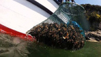 Deniz salyangozu Türkiye ekonomisine 15 milyon dolar kazandırıyor! Kansere iyi geliyor
