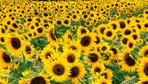 Ayçiçeği tohumu ithalatına gümrük vergisi düzenlemesi