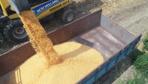 Üretici buruk! Sarı altının rekoltesi düşük bekleniyor