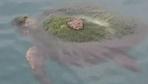 Hatay'da yosun bağlamış kaplumbağayı balıkçılar kurtardı