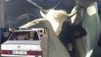 Kaçan arabadan iki inek çıktı jandarmayı dumur eden olay