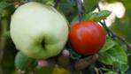 Eskişehir'de gizemli meyve! Adı ya da ne olduğu belli değil ama tadı güzel