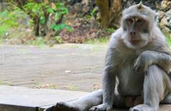 Maymunlar cehennemi filmi Endonezya'da gerçek oldu