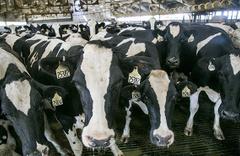 Hollanda'da dünyanın ilk yüzen çiftliği açılacak