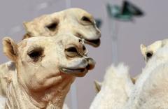 Arabistan'da develere estetik yaptırmak yasaklandı