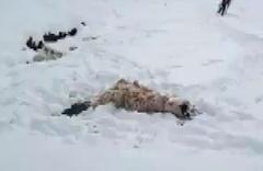 Aç kalan kurtlar koyun sürüsüne saldırdı!