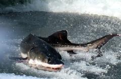 Çin'den alkışlanacak hareket inşaat balıkların ölümüne neden olunca sonlandırıldı