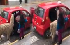 Lamanın taksi merakı görenleri hayrete düşürdü