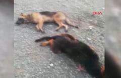 Zehirli et ve kek verilen 4 sokak köpeği öldü