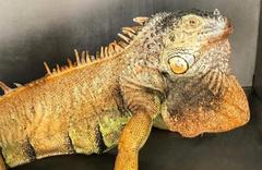 Yol kenarında 1 metre boyunda iguana bulundu