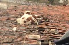 Otlamaya çıkan inek çatıya düştü