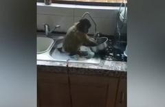 Her eve lazım sevimli maymun! Kirli bulaşıkları böyle yıkadı