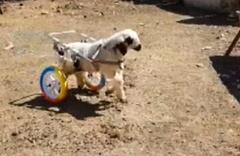 Engelli kuzunun yürüteç mutluluğu