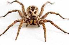 'Et yiyen örümcek' iddiası için açıklama