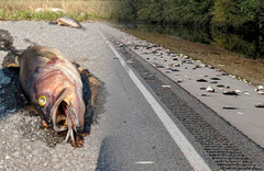 Otoyol yüzlerce ölü balıkla doldu