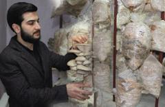 Mardinli ziraat mühendisi evinin iki odasında yetiştirdi kilosu 10 lira