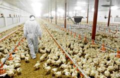 Patron konkordato ilan etti 3 milyon civciv yemsiz kaldı