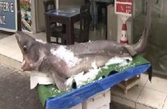 Marmara'dan köpekbalığı çıktı
