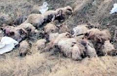 Sele kapılan 446 koyun telef oldu!