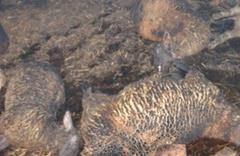 Ağılda çıkan yangında 150 koyun telef oldu