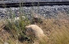 Tren 74 koyunu ve çobanı öldürdü!