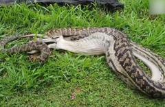 Avustralya'da dev yılan kanguruyu yuttu